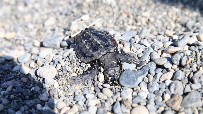 Deniz kaplumbağaları 5 sahilde 'ahşap bariyerler' ile korunacak