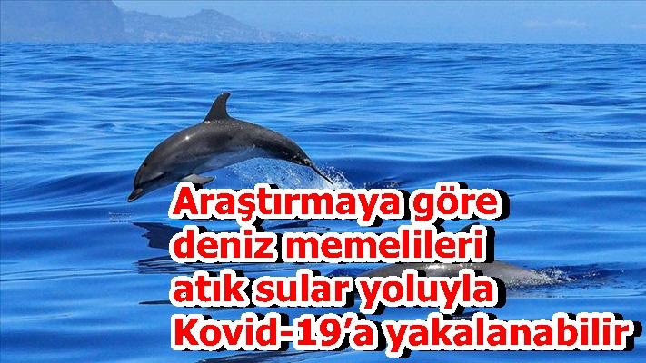 Araştırmaya göre deniz memelileri atık sular yoluyla Kovid-19'a yakalanabilir