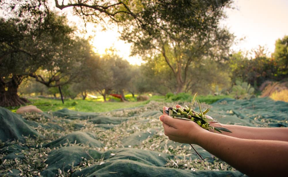 Zeytincilik ve Zeytin İşleme Teknolojisi(2 Yıllık) 2019 Taban Puanları ve Başarı Sıralamaları