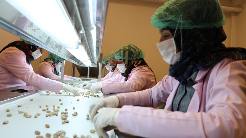 Fıstık 'kadın eliyle' ekonomiye kazandırılıyor