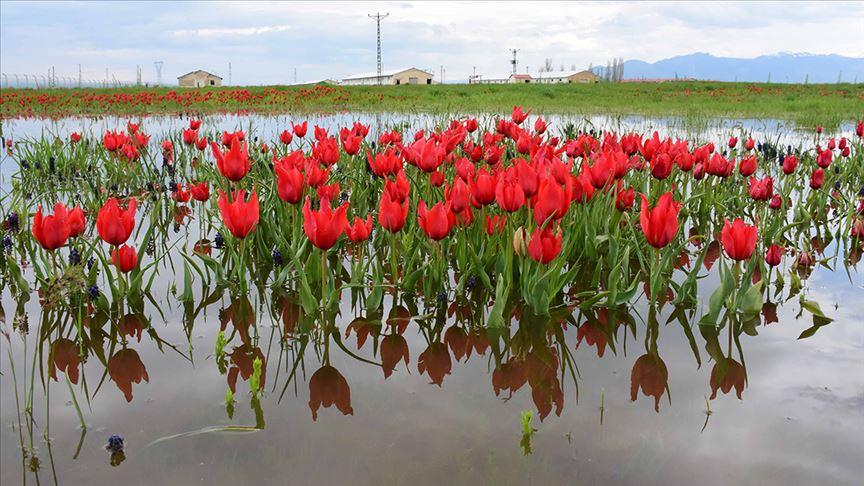 Muş'ta endemik bitki türleri kayıt altına alınıyor