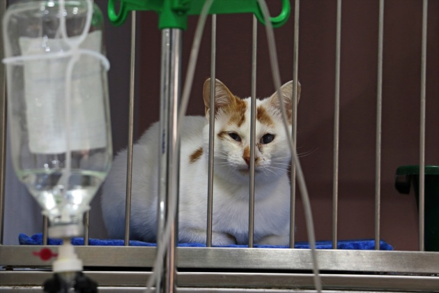 Bu hastanede sadece kediler tadavi görüyor