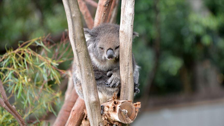 Koala neslini tükenmekten kurtaracak sağlıklı türler bulundu