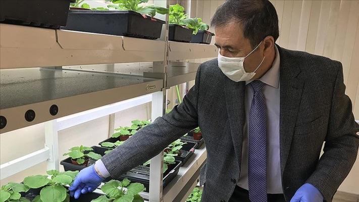Yeşil bitki ile koronavirüs aşısı çalışması sürüyor