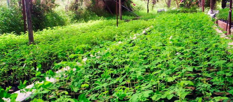 Moringa bitkisi nedir? Nasıl tüketilir?