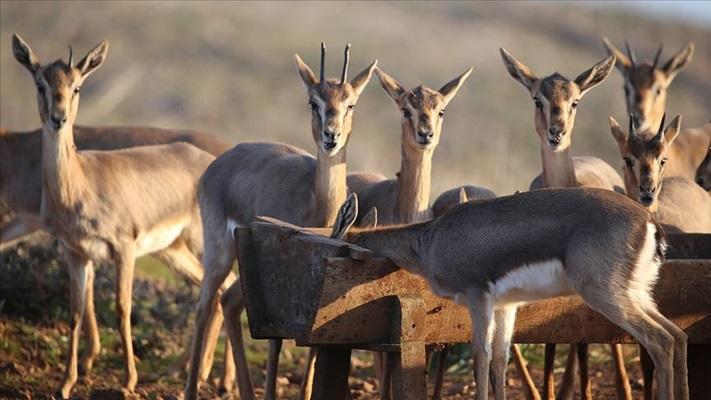 Hatay'da 'gazella gazella' popülasyonunda artış