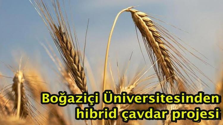 Boğaziçi Üniversitesinden hibrid çavdar projesi