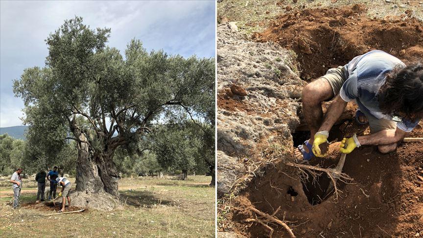 3 bin yıllık ağacın 'sır' yaşını nükleer fizikçiler ortaya çıkardı